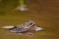 Żaba trawna (Rana temporaria)_2