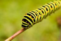 Paź królowej (Papilio machaon) gąsienica, larwa_3