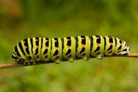 Paź królowej (Papilio machaon) gąsienica, larwa_4