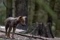 Wilk Szary Canis lupus_1